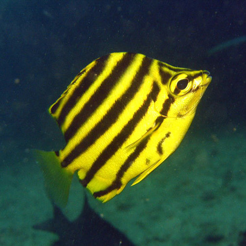 Stripeys (Microcanthus strigatus) - Marine World Aquatics