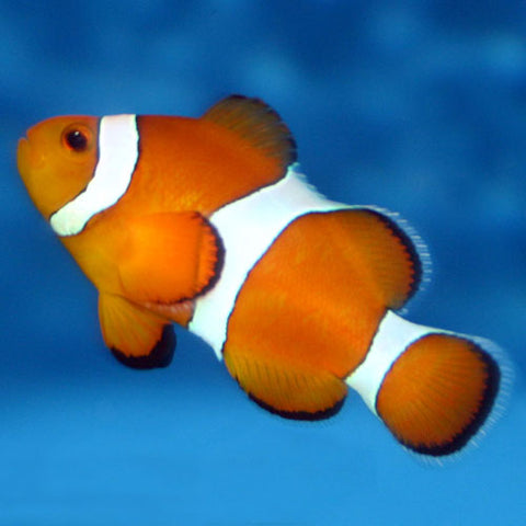 Tank Bred Clown - Common (Amphiprion ocellaris), Fish by marineworld.co.uk