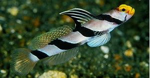 Hi Fin Banded Goby (Stonogobiops xanthorhinica)