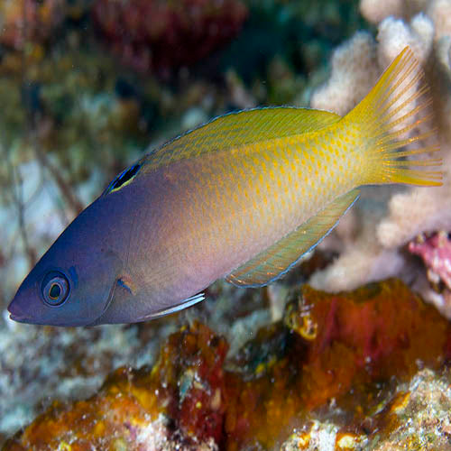 Two Tone Wrasse (Halichoeres prosopeion) - Marine World Aquatics