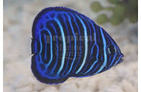 Annularis Angel : J (Pomacanthus annularis) - Marine World Aquatics