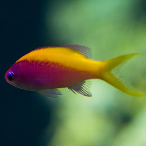 Yellow Back Anthias (Pseudanthias evansi) - Marine World Aquatics