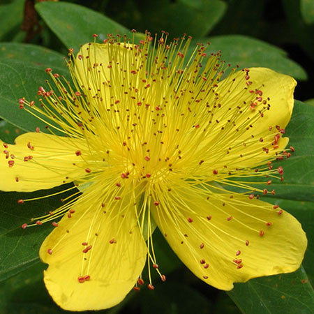 St. John's Wort in Olive Oil