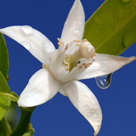 Neroli - Orange Blossom