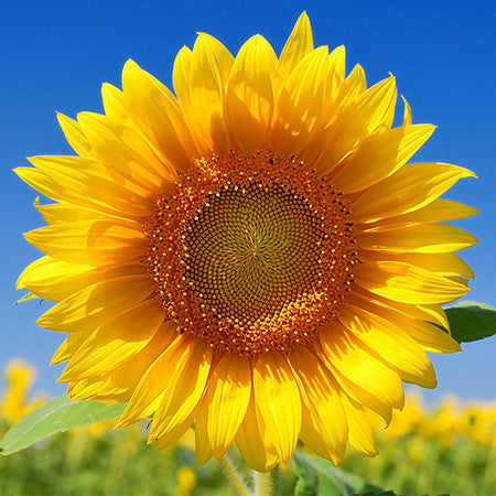 Sunflower Oil, High Oleic/Refined