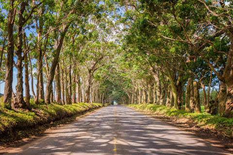 Eucalyptus Tree Tunnel Kauai Hawaii landscape photography