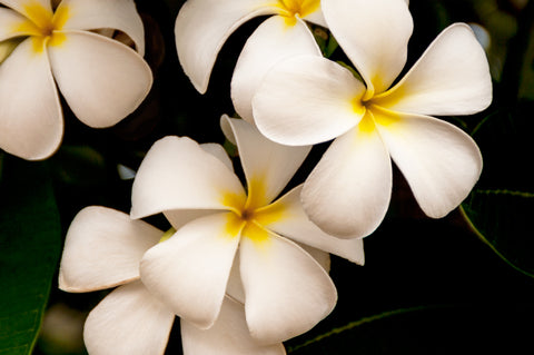 White and Yellow Plumeria Frangipani - Kauai, Hawaii