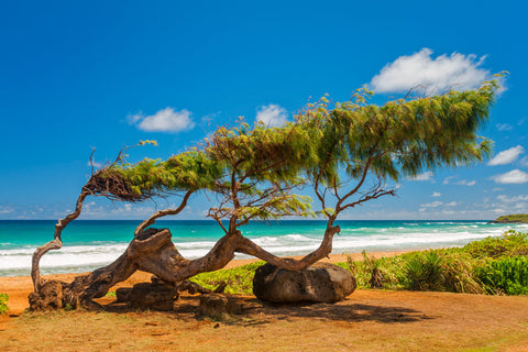 Windblown Ironwood Tree - Kauai, Hawaii