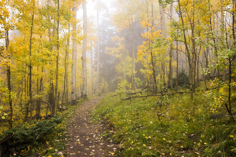 Foggy Winsor Trail Aspens In Autumn - Santa Fe National Forest New Mexico Fine Art Photography