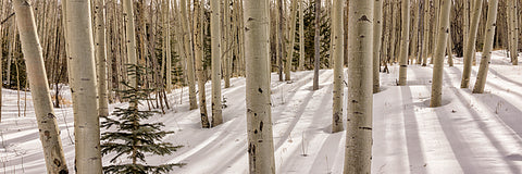 Aspens In Winter Panorama 2 Santa Fe National Forest New Mexico