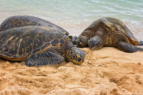 3 endangered green hawaiian sea turtles on beach north shore oahu hawaii
