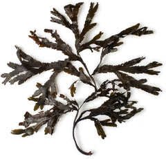 Reform Beauty Favorite Ingredient Seaweed