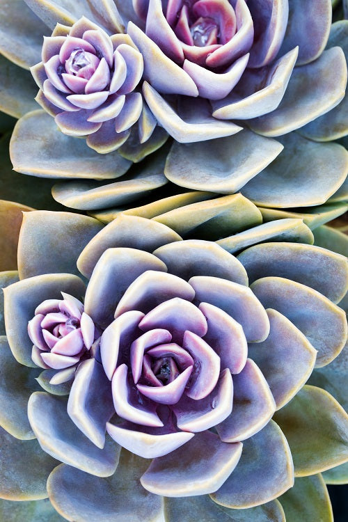 Thumbnail of a photograph from overhead of a succulent that is pastel purple and green