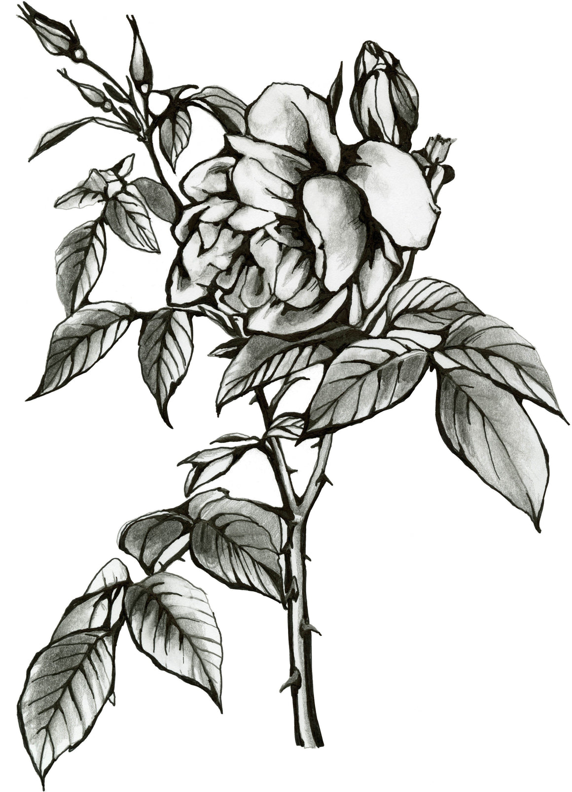 Hand drawn rose in black and white with a thorny stem and many leaves