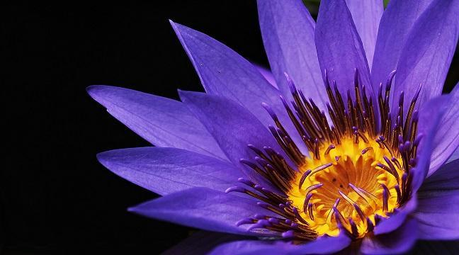 Thumbnail of a photograph of a purple water lily close up so the focus is on the center of the flower on a black background