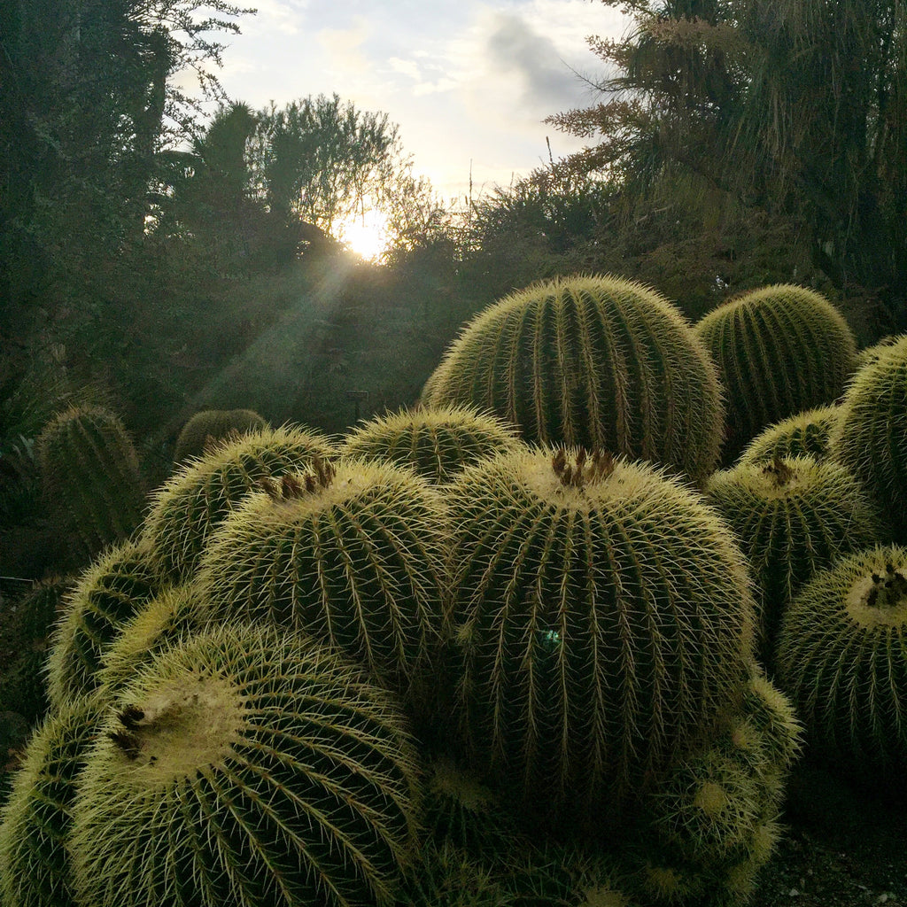 desert garden cacti at sunset with light in distance