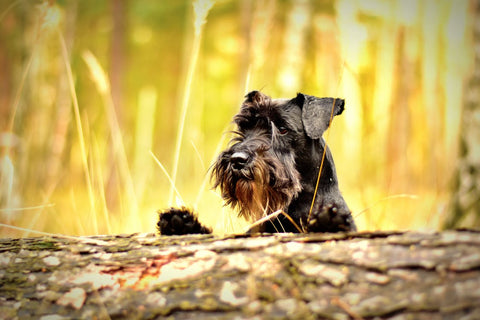 miniature schnauzer petjam about us