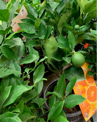 Citrus tree 10 for $300.00