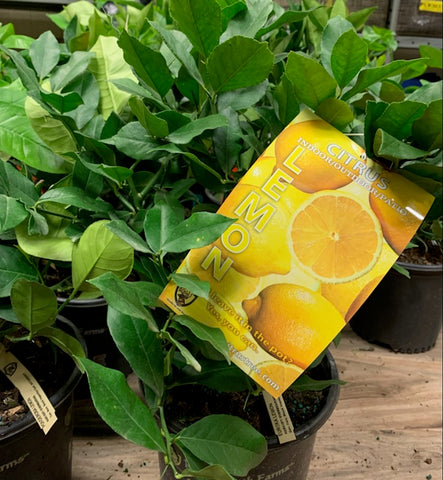 citrus trees 3 for $100