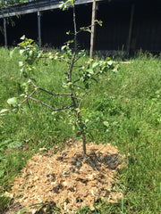 apple tree in chicken pasture