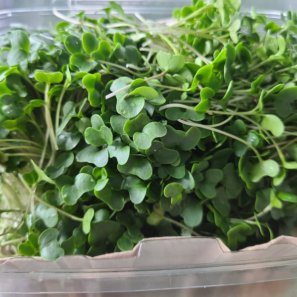 Contariner of Broccoli microgreens