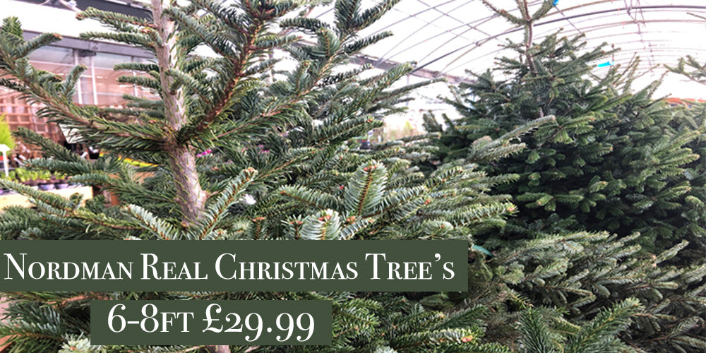 Norman Christmas tree £29.99 6ft-8ft