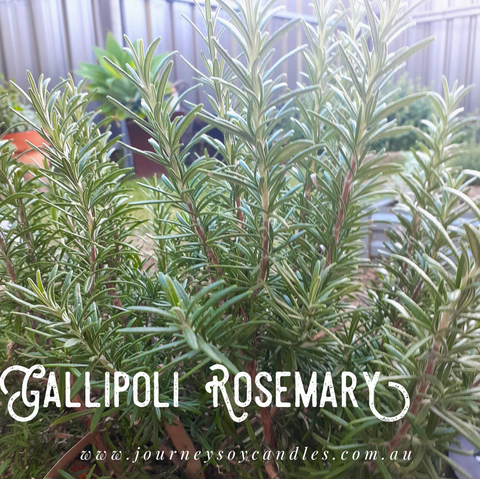 Dried Gallipoli Rosemary