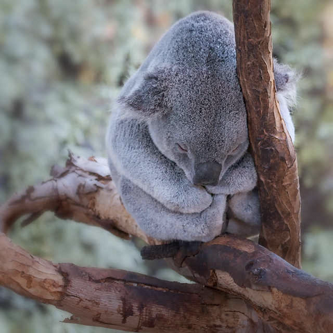 Sleeping Animals Koala Provincial Sleep Group