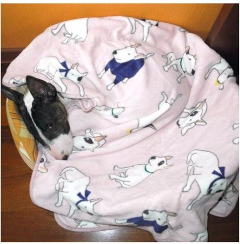 Cute Bull Terrier Blanket