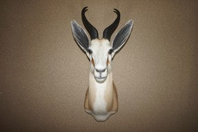 Vintage Springbok Shoulder Mount # 2182
