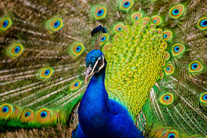 The Peacock Effect;