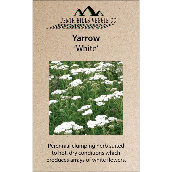 Yarrow 'White'