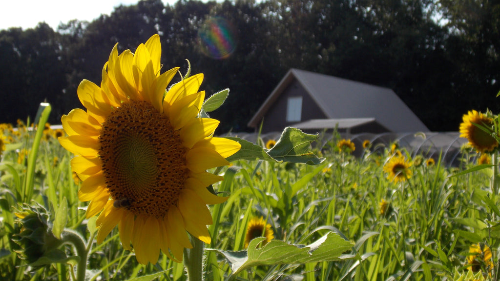 KCC Natural Farms sunflowers in field