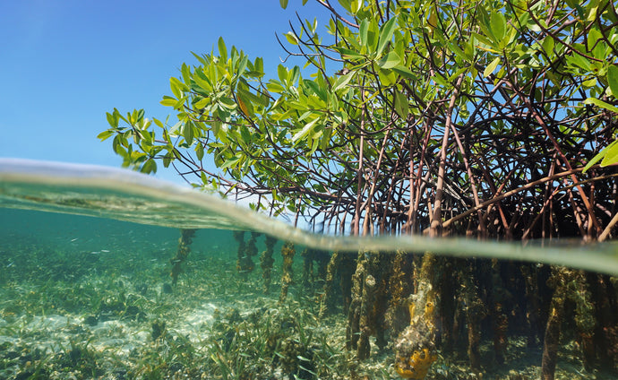 Reforesting Indonesia with Mangroves - the World's Most Carbon-Absorbent Ecosystem