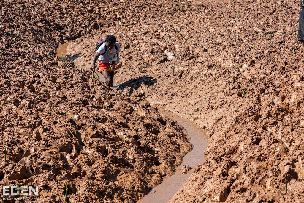 Planting trees in mud swamps in Madagascar