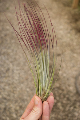 Juncea (Enhanced)