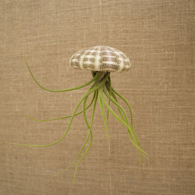 Hanging Striped Urchin with Plant (XL)