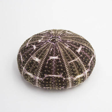 Striped Urchin