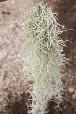 Usneoides Thick Form