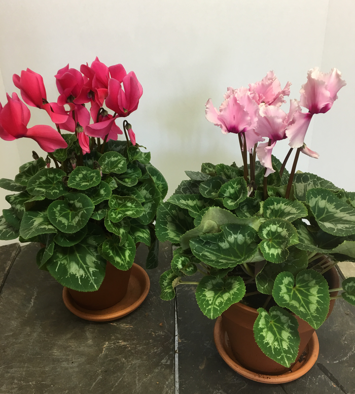 Cyclamen - Clores Flowers & Gifts, Upper Montclair, NJ