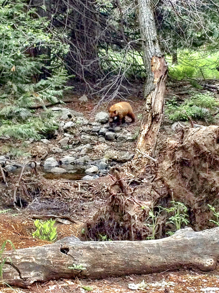 Bear in Yosemite