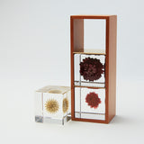 3 Sola cubes set with display case (your own choice  dandelion)