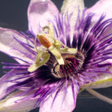 Passion flower in polyester resin  (N)