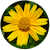 Wild_chrysanthemum