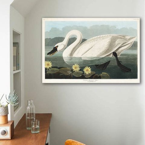 John J. Audubon, Common American Swan – Print on Metal