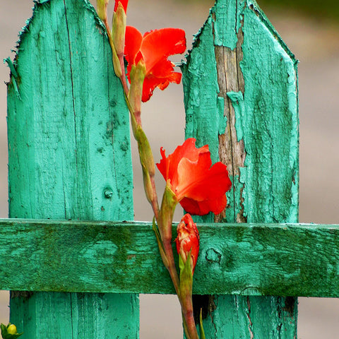 Green Wood Fence with Gladiolus in Grunge style – Photo on Metal-newARTmix-newARTmix
