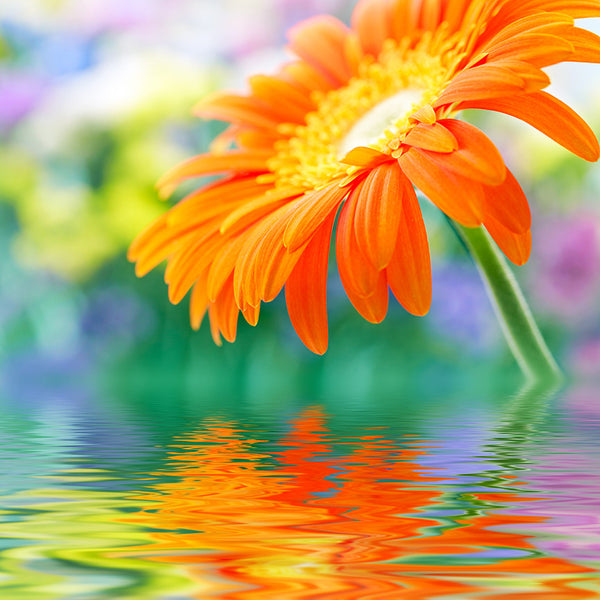 Gerbera Orange Flower – Large Photo on Metal