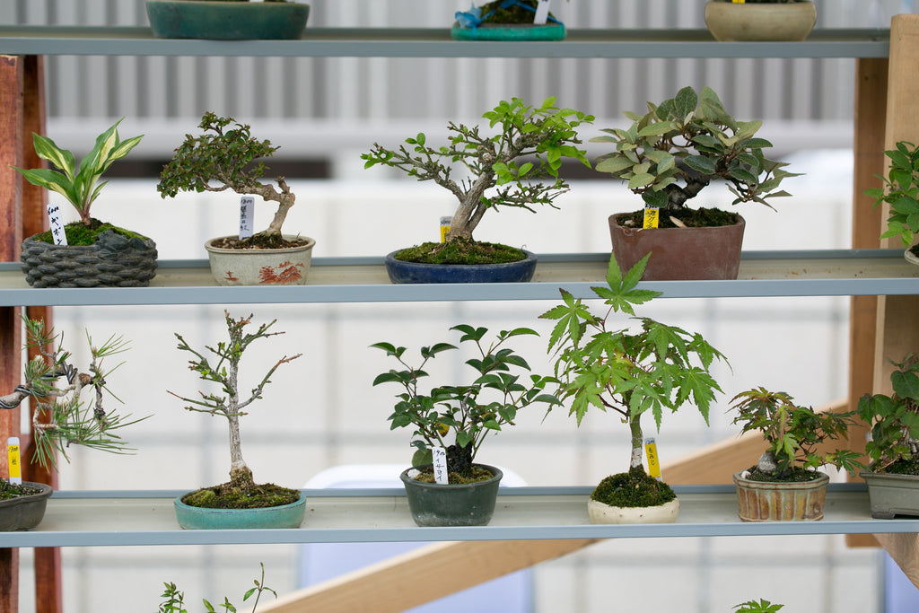The Best Indoor Bonsai Tree Varieties and Caring for Indoor Bonsai Trees