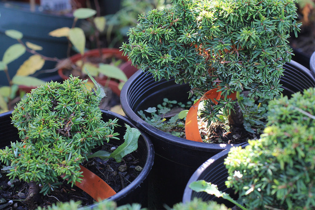 5 Tips for Pruning Bonsai Trees