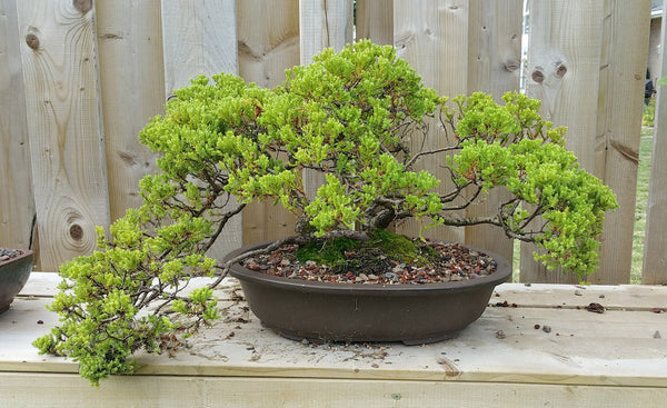 Juniper bonsai – how to care for bonsai trees